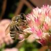 A Honeybee Lands on Pink Flowers