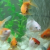 Goldfish have higher attention span