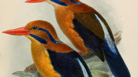 Rendering of Moustached Kingfisher