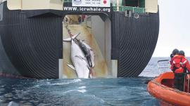 Japanese whaling ship Nisshin Maru