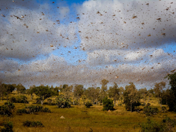 Iran May Use Military to Protect the Billions Worth Crops Against Locusts