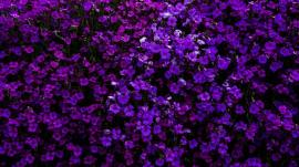 purple-colored flowers