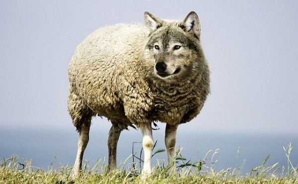 The Word of God teaches Christians to spot wolves masquerading as sheep. (Sarah Richter / Pixabay)